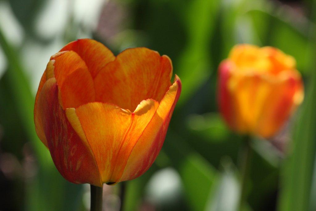 Tulip season adrian stoian for What season are tulips